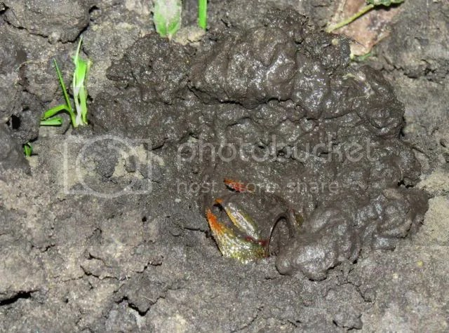 Burrowing Crayfish Excavating photo IMG_4320_zps90999d55.jpg