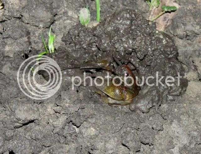 Burrowing Crayfish Excavating photo IMG_4324_zps812dba73.jpg
