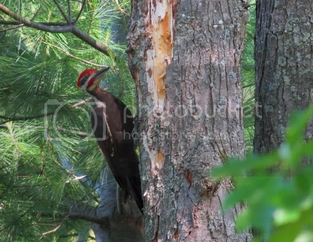 Pileated Woodpecekr - Male photo IMG_4972_zps56c380ca.jpg