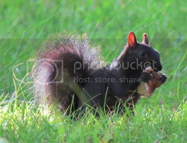 Grey Squirrel Eating a Large Mushroom photo IMG_5638_zps5d0f392d.jpg