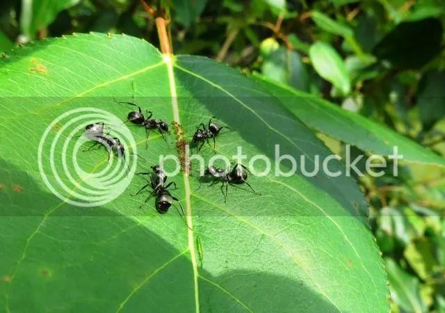 Black Ants tending Aphids photo IMG_6031_zpsccfc5006.jpg