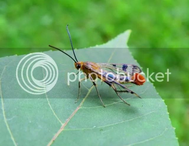 Maple Callus Moth photo IMG_6163_zpse9b24e7f.jpg