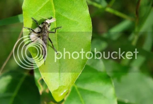 Machimus Robber Fly photo IMG_6195_zpsd28841fc.jpg