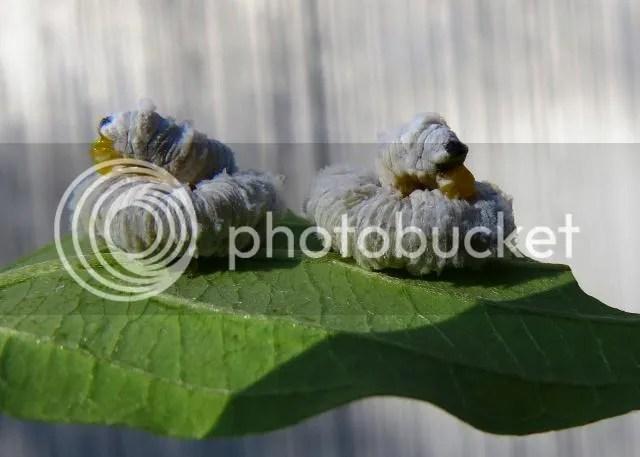Dogwood Saw Fly Larvae photo IMG_6371_zps83765e6c.jpg
