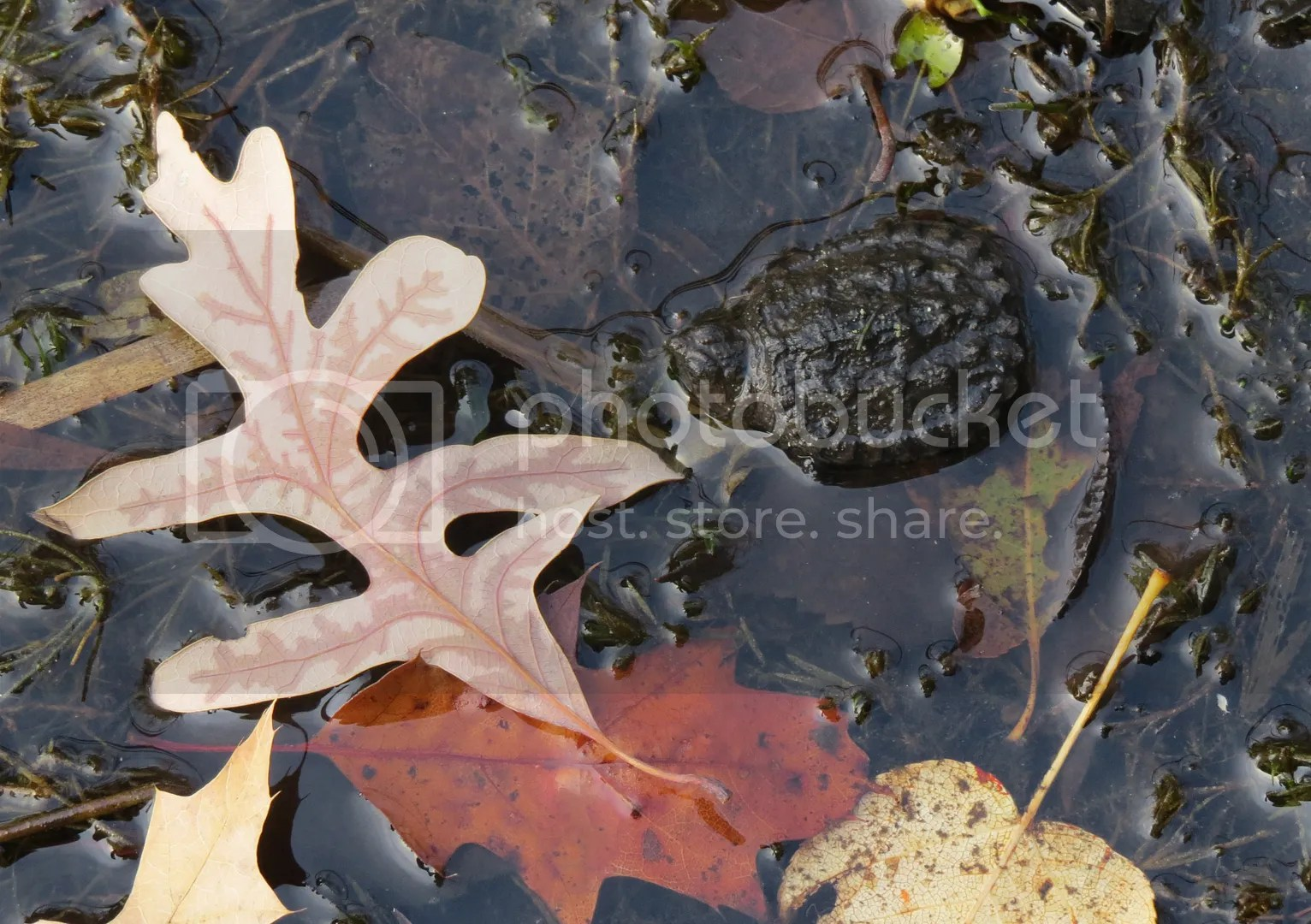 Hatchling Snapping Turtle photo IMG_6883_zpscc93f89f.jpg