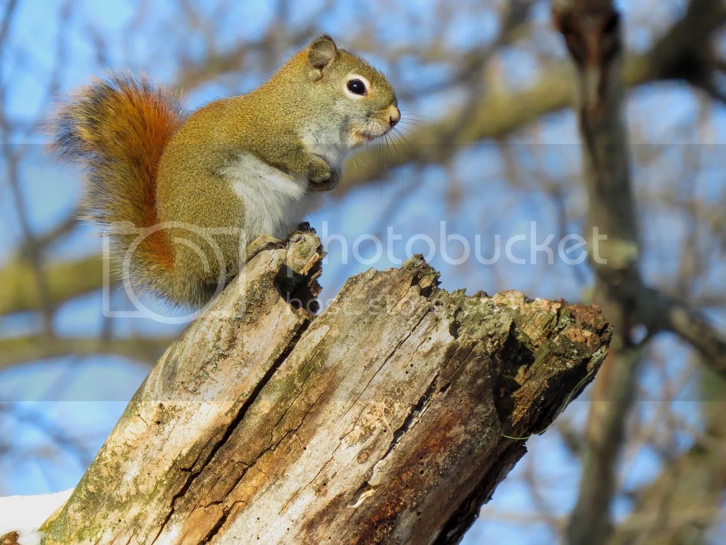 Winter Red Squirrel photo IMG_7285_zps1508ea20.jpg
