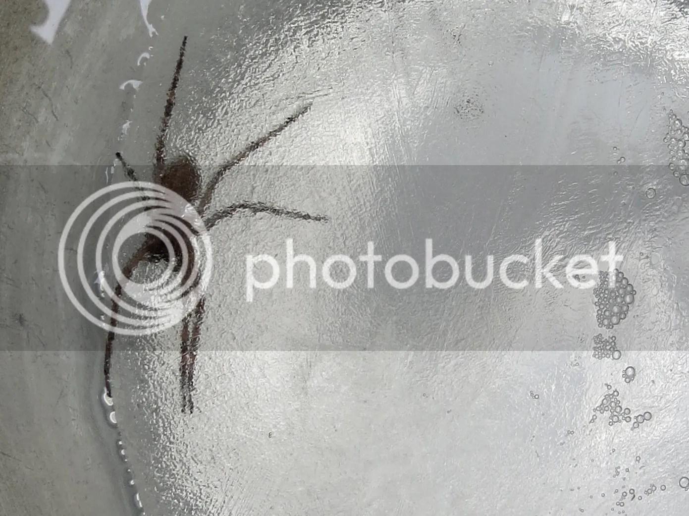 Frozen Fishing Spider photo IMG_8378_zpsgcsolaty.jpg