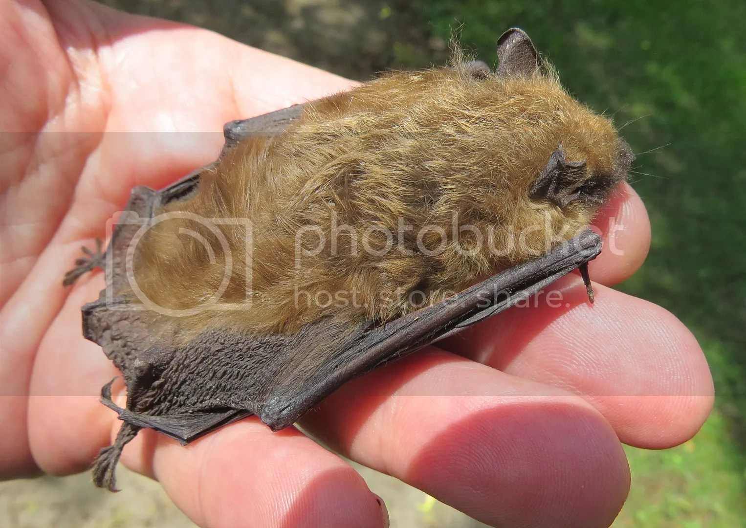 Big Brown and Dead Bat photo IMG_9270_zpsbyuezuf2.jpg