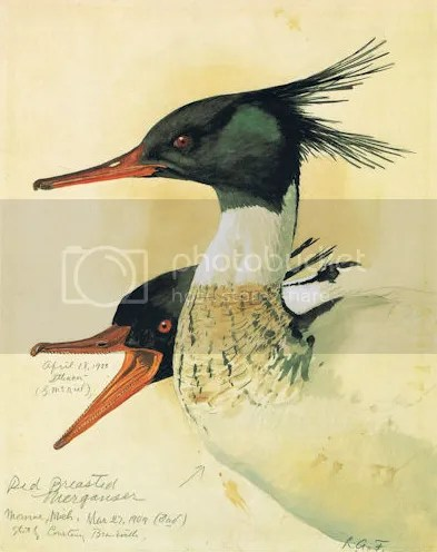 photo Red-breasted Merganser - Fuertes_zpspgqmanio.png