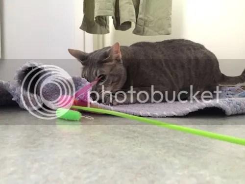 On kyllä leikittykin. Tuo huiska on erikoistapaus. Se on nimittäin ostettu eläinlääkäriltä! Ei se figonkestävä ollut, mutta Figo siitä kovasti tykkäsi.