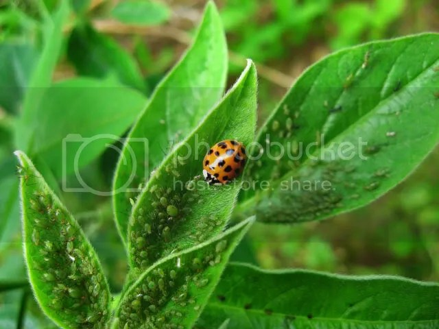Ladybugs and aphids - photo courtesy photobucket