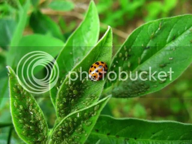 Ladybugs and aphids - photo courtesy photobucket