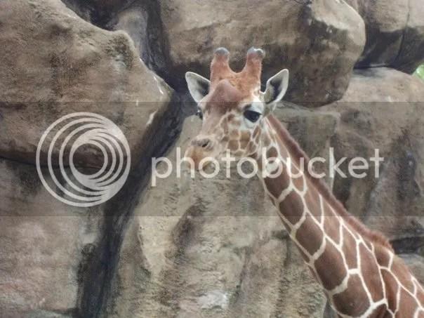 Giraffe Philadelphia Zoo