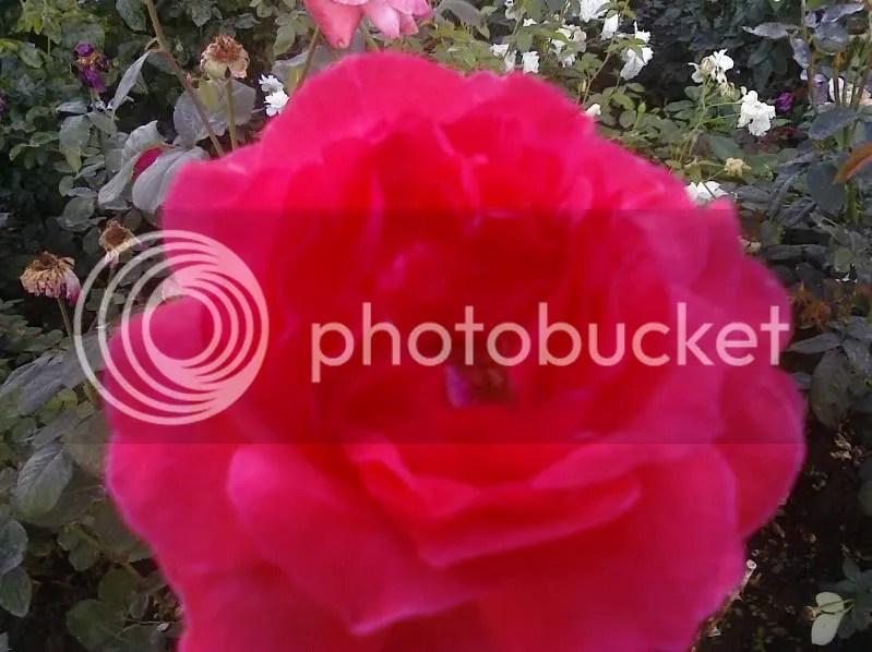 Roses, roses everywhere