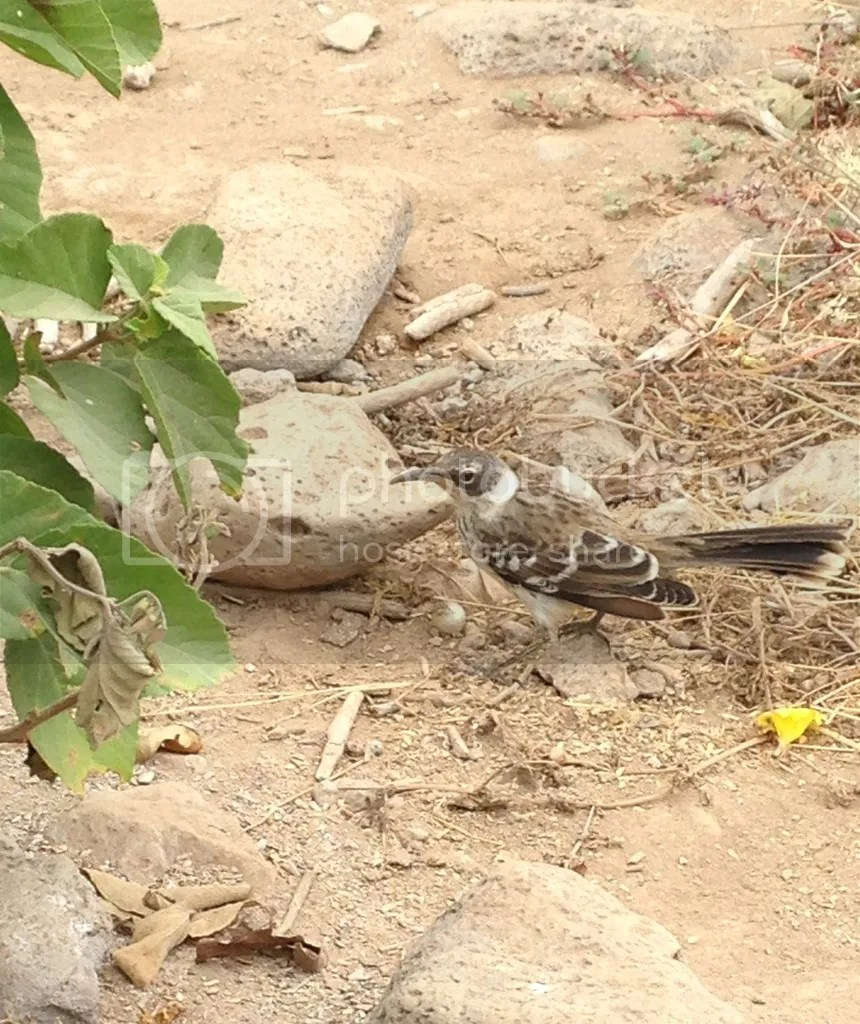 Galapagos Mockingbird by Amie Inman - La Paz Group