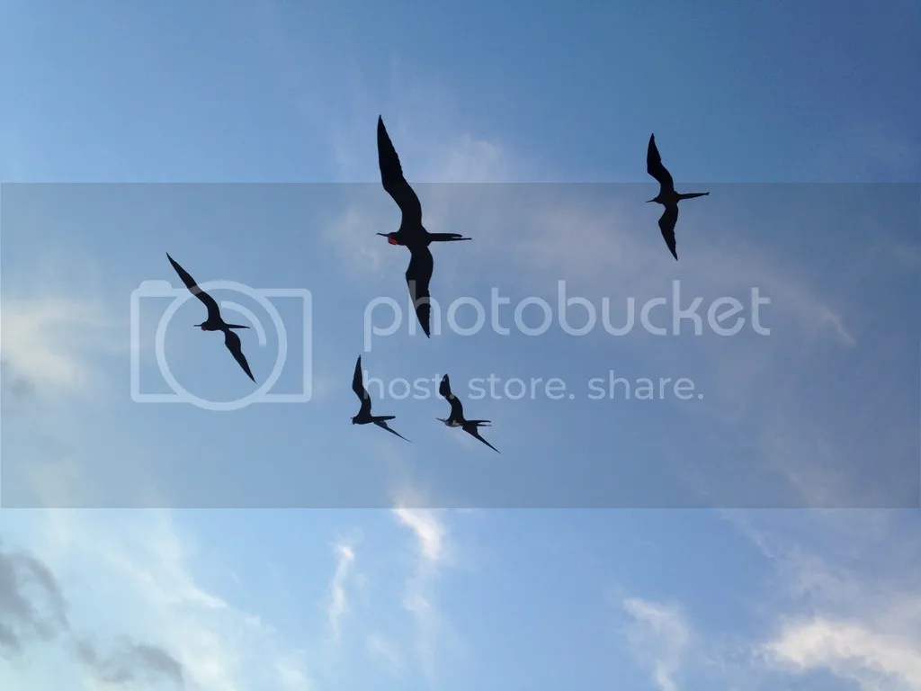 Great Frigate Birds by Amie Inman - La Paz Group