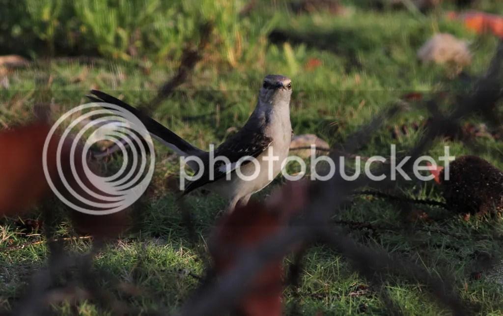Northern Mockingbird by Justin Proctor - La Paz Group