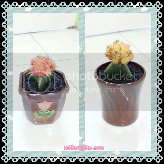 kaktus hias1