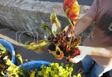 Pitcher Plants For Sale Nj