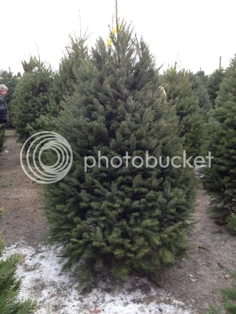 christmas tree, hand cut, tree farm