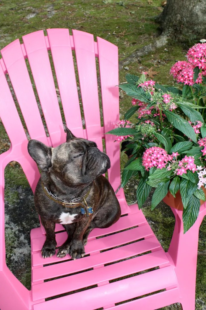 My favorite vacation photos - Clark the French Bulldog knows how to do vacations