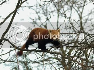 red panda 1-s