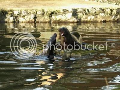 sea lions-s