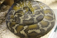 Luna- IJ carpet python - Reptile Forums