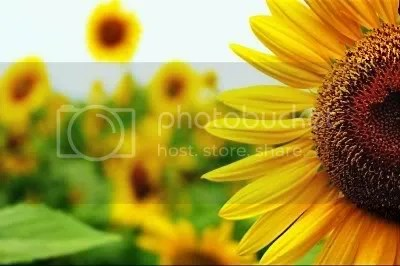 sunflowers Pictures, Images and Photos