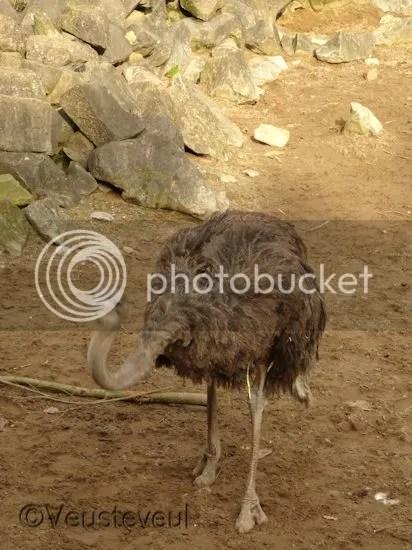 Struisvogels... agressief object hoor!