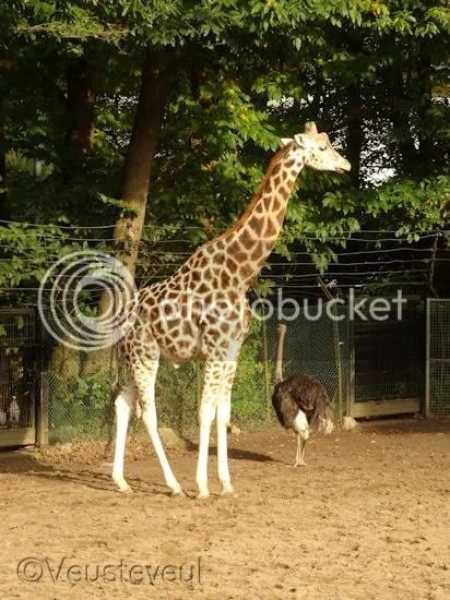 Prachtig dier, de giraffe
