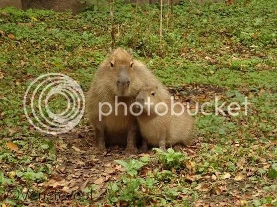 Capibara moeder en kind bij ouwehands dierenpark
