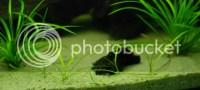 fast growing carpet plants aquarium  Floor Matttroy