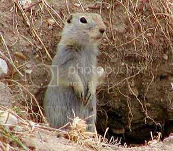 Happy gopher looking out of his hole, hoping for better days