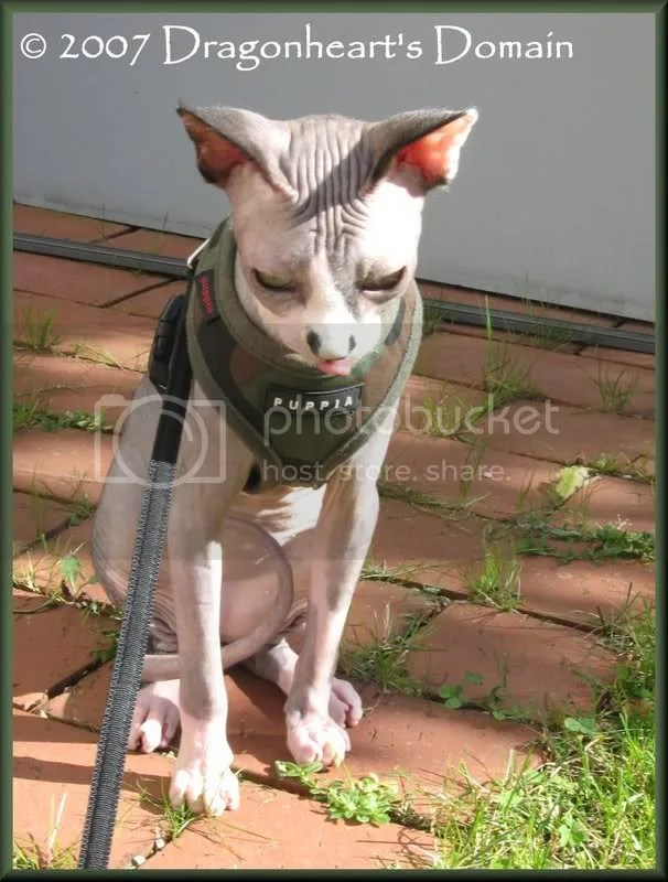 Chat Aux Sphynx Cats On Tuesday My New Harness
