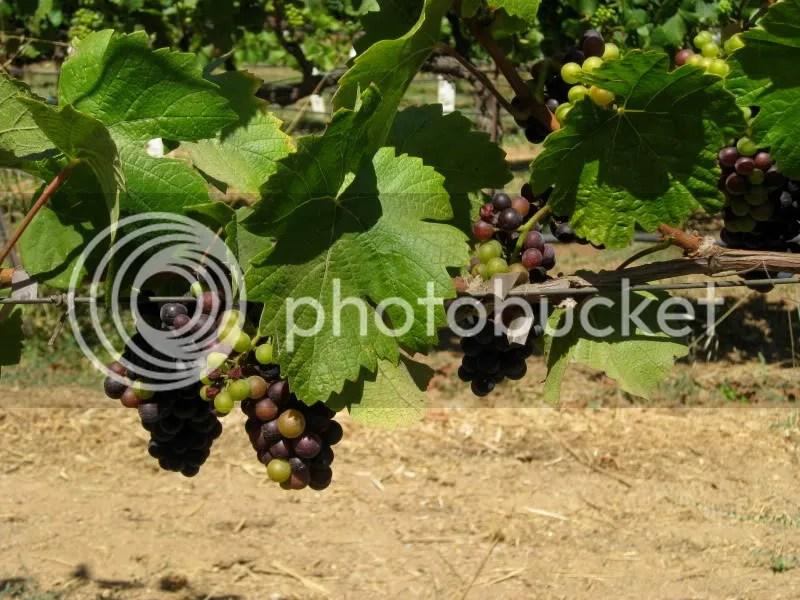 Grapes at C. Donatiello!