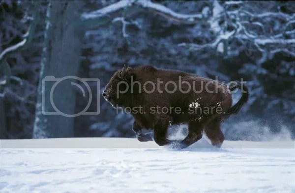 A Baby Wisent Playing in Snow