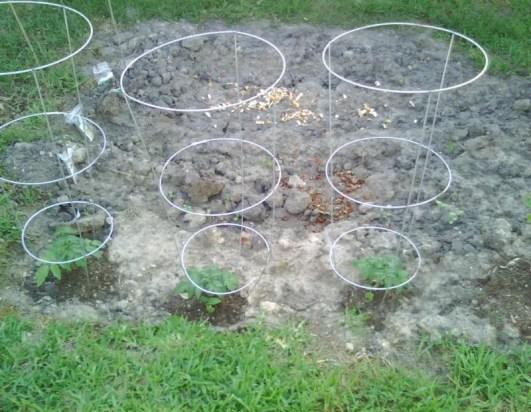 vegetables;2010;spring;garden;tomato