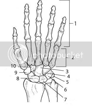 wrist and hand unlabeled diagram rv fresh water tank sensor wiring bones of the quiz by katejanzo
