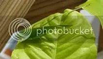 Sáska vagy zöld szöcske