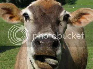 cow, oak hill