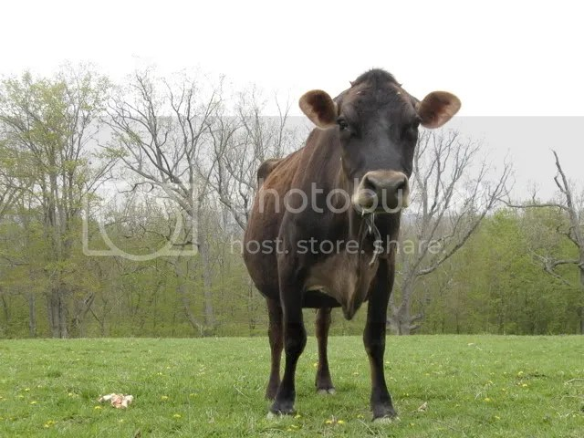 oak hill cow