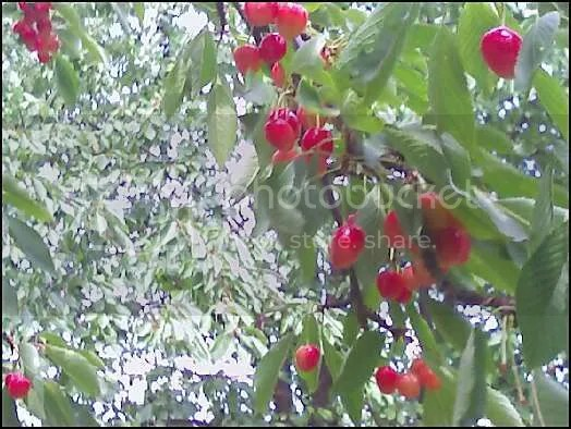 Royal Anne Cherries at Detering Orchard, Harrisburg, OR