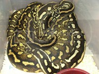 Striped Jungle Carpet Python Pic