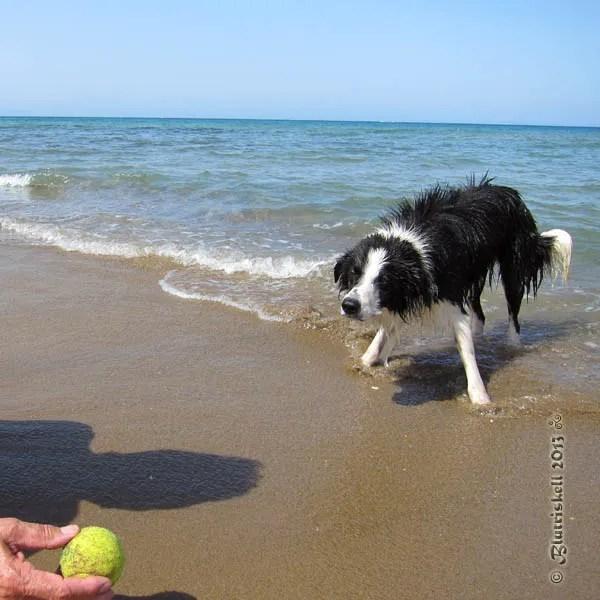 Boarder Collie fissato sulla pallina
