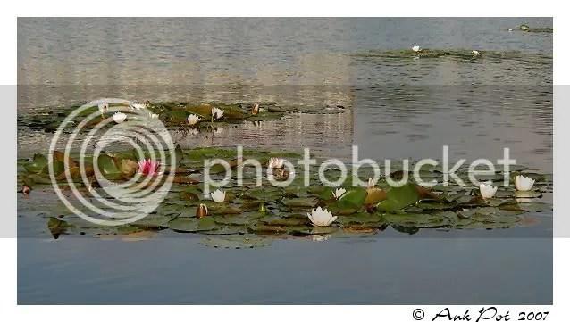Log17-8-07-2.jpg Waterlelies