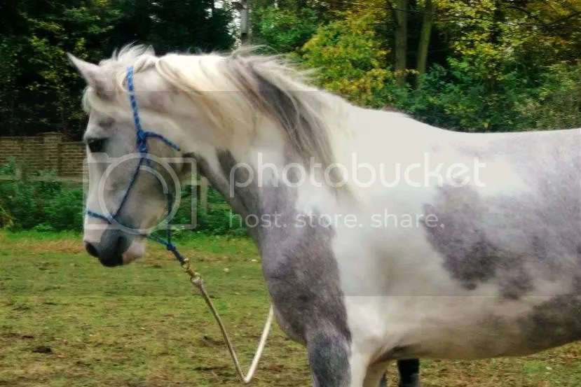 What Colour Is My Horse Gray TobianoSkewbaldBlue And