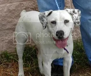 pitbull dalmatian mix dog.  fugly fugly poor little guy