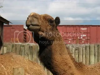 camel with train