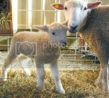 sheep Pictures, Images and Photos